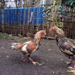 Daftar S128 Taruhan Ayam Online Terpercaya