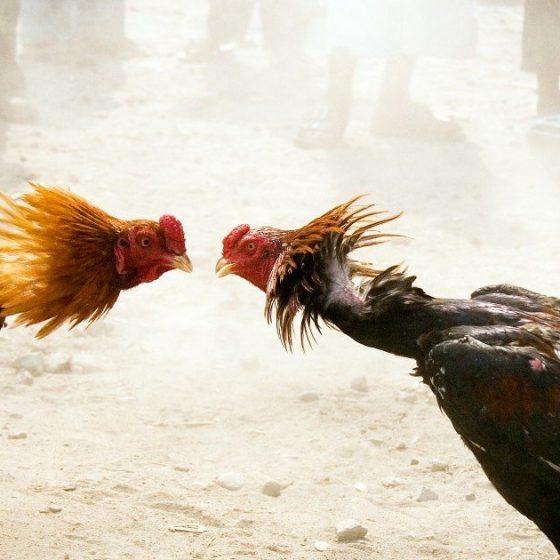 bandar sabung ayam indonesia